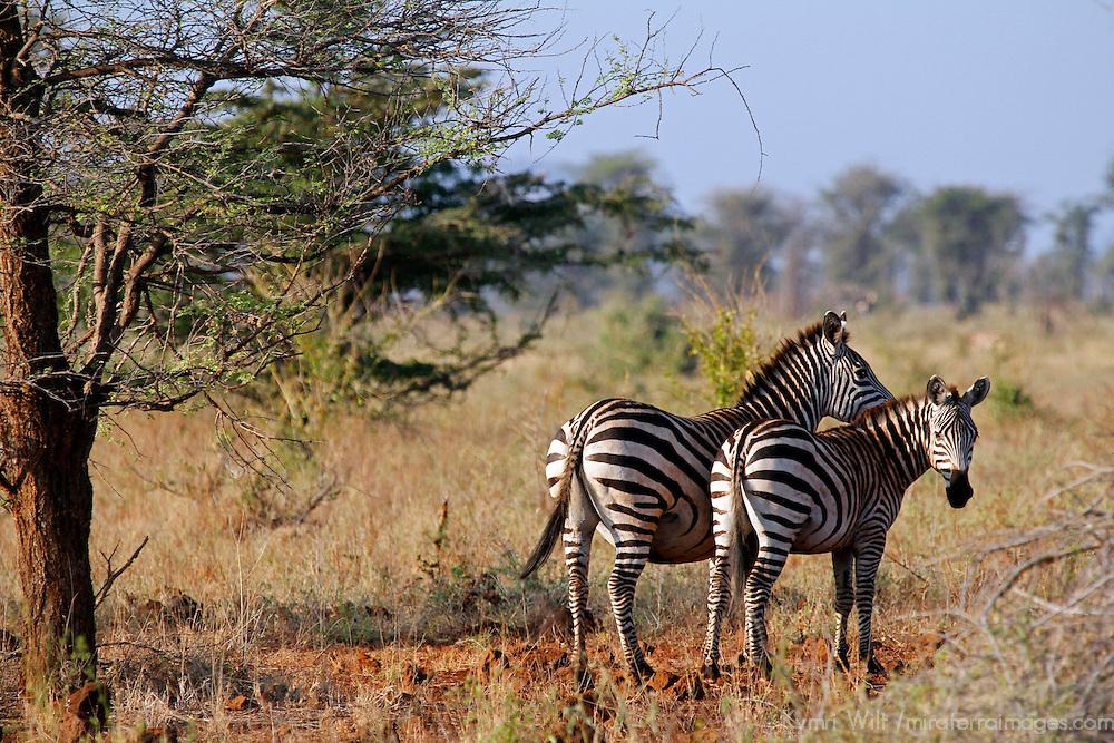 Africa, Kenya, Meru. Pair of Zebras in Meru National Park.