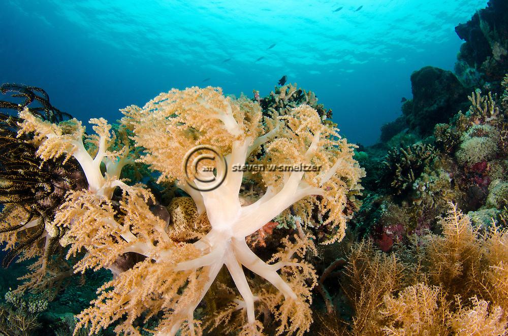 Soft Tree Coral, Lemnalia cervicornis, Bali Indonesia