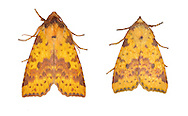 73.181 (2273)<br /> Pink-barred Sallow - Xanthia togata