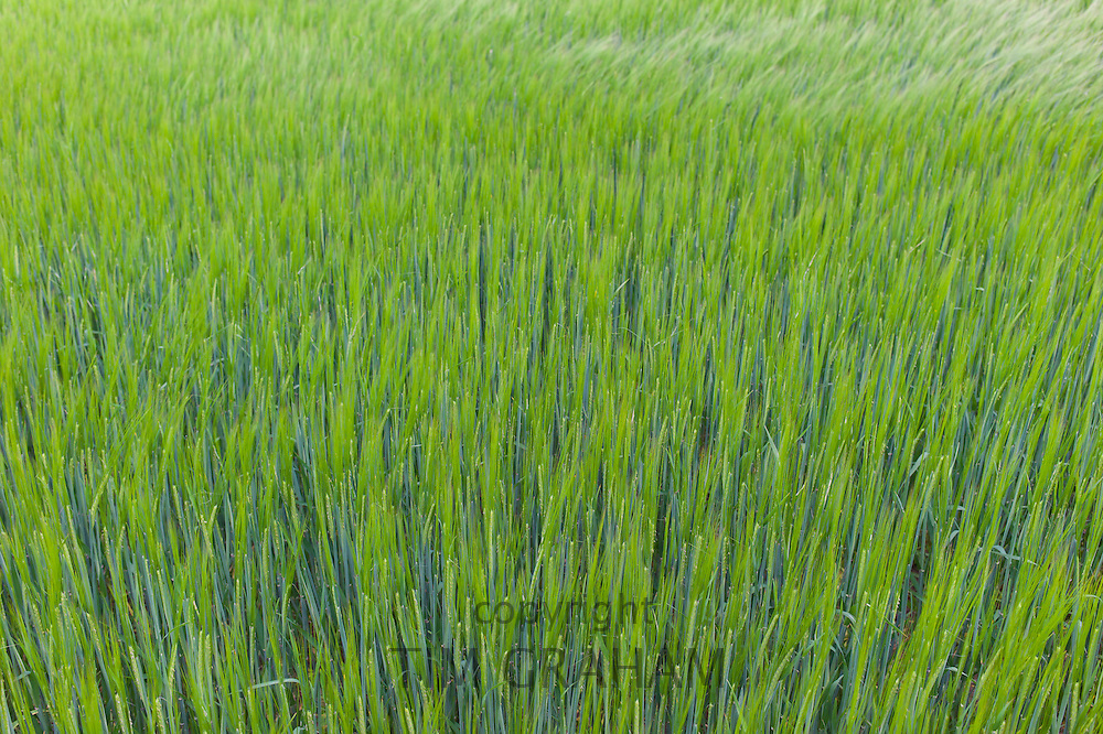 Barley crop in The Cotswolds in Oxfordshire, UK