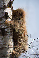 North American Porcupine (Erethizon dorsatum) climbing a birch tree in Northern Minnesota, USA. Porcupines are rodents with a coat of sharp spines, or quills, that defend them from predators.  After the capybara and the beaver, Porcupines are the third largest of rodents.