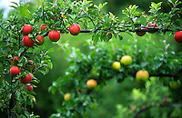 garden potager red English apples growing on a frame