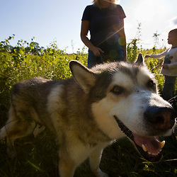 A malamute in a field at the Pell Farm in Grafton, Massachusetts.