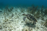 Hawksbill Turtle (Eretmochelys Imbricata) release after capture for annual monitoring<br /> MAR Alliance<br /> Lighthouse Reef Atoll<br /> Belize<br /> Central America