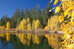 """Coldstream Pond in Autumn 3"" - Photograph of yellow cottonwood trees and pine trees along the shore of Coldstream Pond in Truckee, California."