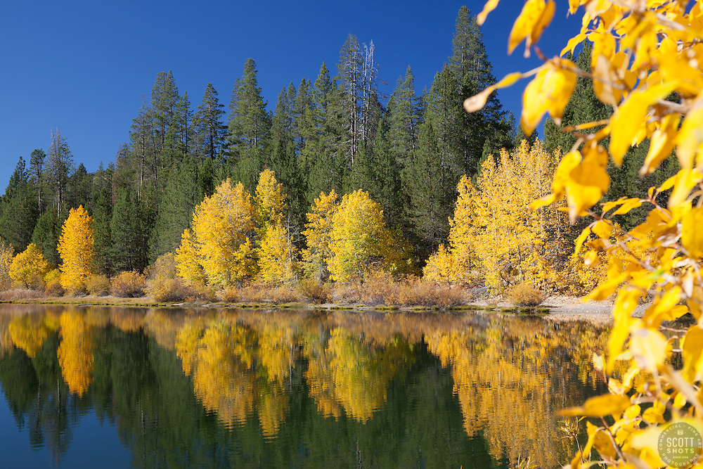 """""""Coldstream Pond in Autumn 3"""" - Photograph of yellow cottonwood trees and pine trees along the shore of Coldstream Pond in Truckee, California."""