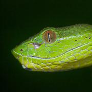 Pope's Pit Viper (Trimeresurus popeiorum) juvenile female in situ in Doi Luang national park, Thailand
