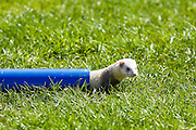 Ferret crawls through pipe at ferret racing event, Oxfordshire, United Kingdom