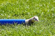 Ferret crawls through pipe at ferret racing event, Oxfordshire, United Kingdom