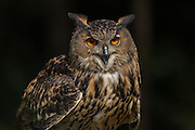Eurasian Eagle Owl at the Center for Birds of Prey November 15, 2015 in Awendaw, SC.