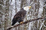 Perched Bald Eagle (Haliaeetus leucocephalus) vocalizes in the Chilkat Bald Eagle Preserve in Southeast Alaska. Winter. Afternoon.
