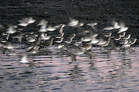 Waterfowl Flying at Twilight, Bolsa Chica Ecological Reserve, Huntington Beach, California