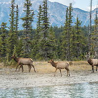 elk herd near river