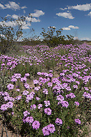 Prairie Verbena, (Glandularia bipinnatifida), at Big Bend Ranch State Park, Texas