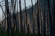 Burned timber from forest fires along the South Fork of the Flathead River in the Bob Marshall Wilderness Area of Montana.