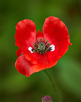 Red Poppy flower. Backyard spring nature in New Jersey. Image taken with a Fuji X-T2 camera and 90 mm f/2 lens (ISO 200, 90 mm, f/2.8, 1/1900 sec).