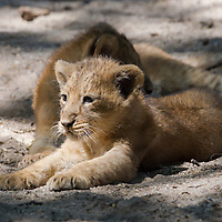 Two month old captive born baby lions are seen in their cage in the City Zoo in Budapest, Hungary on June 13, 2013. ATTILA VOLGYI