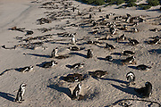 African penguin (Sphenisus demersus) colony<br /> Situated near Simon's Town in False Bay between Fish Hoek and Cape Point.<br /> Western Cape<br /> SOUTH AFRICA