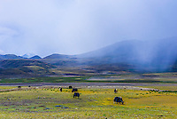 Yaks graze and rain clouds hang overhead, Shannan Prefecture, Tibet (Xizang), China.