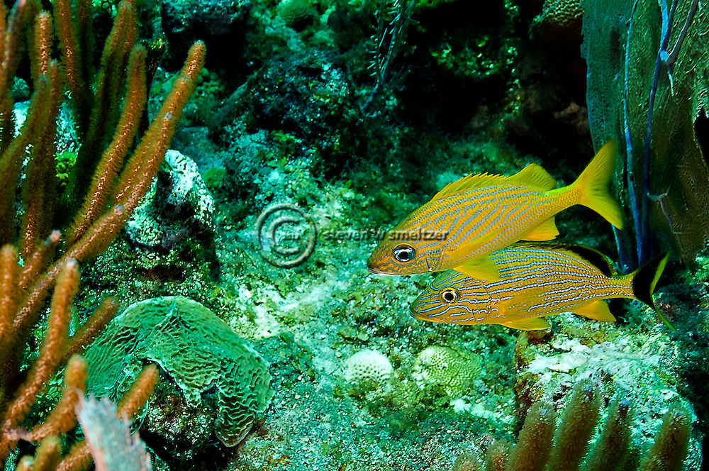 French Grunt, Haemulon flavolineatum, (Desmarest, 1823), Bluestriped Grunt, Haemulon sciurus, (Shaw, 1803), Grand Cayman