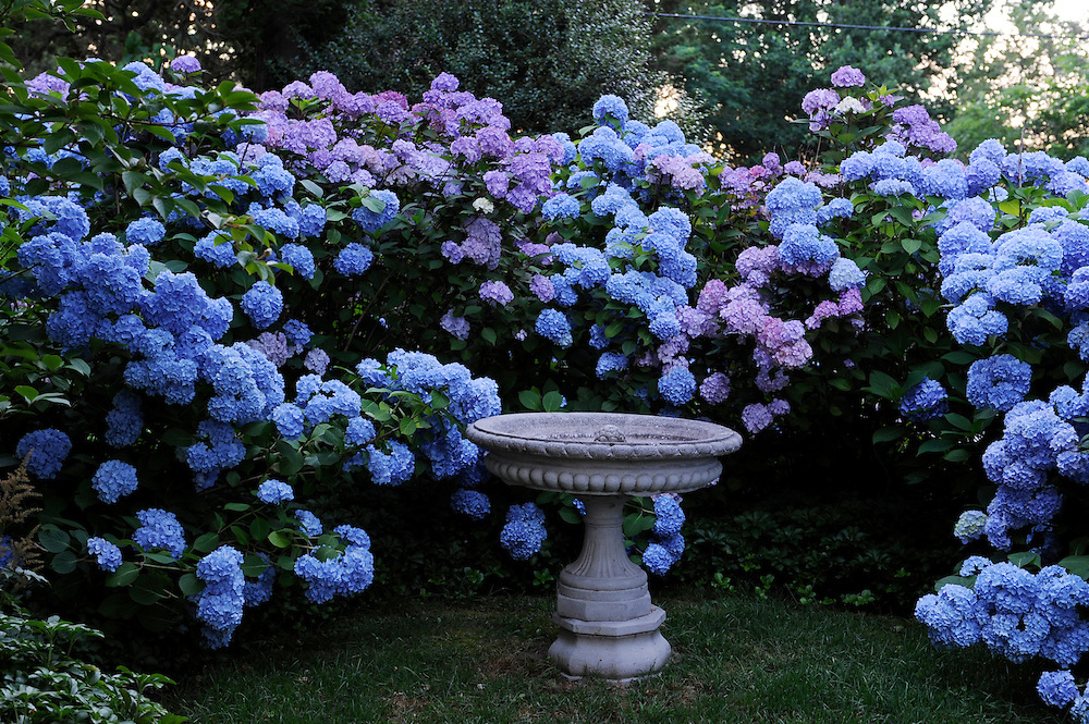 'NIKKO BLUE' HYDRANGEA AND STONE BATH