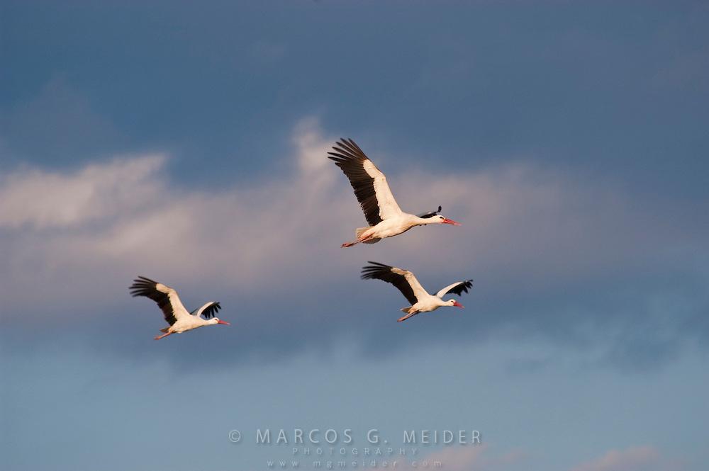 EN. White Stork (Ciconia ciconia) flock of three birds in flight. Spain..ES. Cigueña blanca (Ciconia ciconia) bando bando de tres aves en vuelo. España