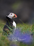 An Atlantic puffin stands amidst grass and purple flowers atop the seaside cliffs of Staffa island, Scotland.