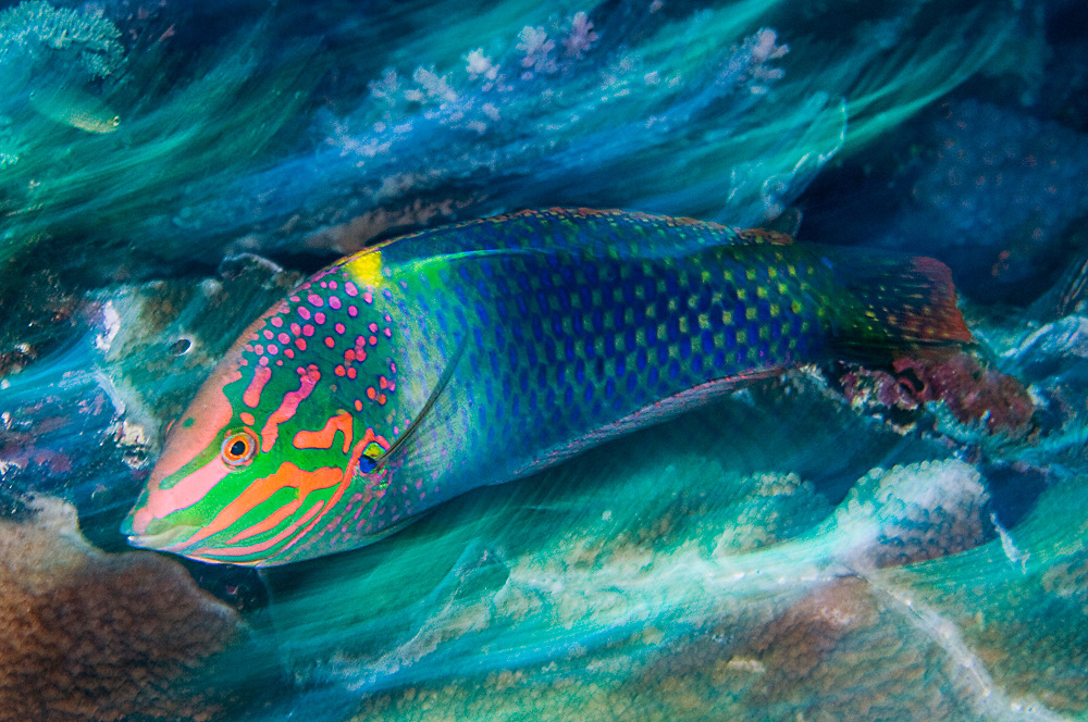 Checkerboard Wrasse (Halichoeres hortulanus) in Komodo National Park, Indonesia Image available as a premium quality aluminum print ready to hang.