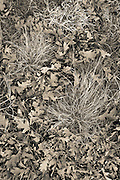 Oak leaves and grass clumps, High Chaparral Open Space , Colorado Springs, CO