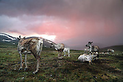 Stunning images reindeer herders of Mongolia<br /> <br /> Tsaatan people are reindeer herders and live in northern Khövsgöl Aimag of Mongolia. Originally from across the border in what is now Tuva Republic of Russia,the Tsaatan are one of the last groups of nomadic reindeer herders in the world. They survived for thousands of years inhabiting the remotest Ulaan taïga, moving between 5 and 10 times a year. <br /> The reindeer and the Tsaatan people are dependent on one another. Some Tsaatan say that if the reindeer disappear, so too will their culture. The Tsaatan depend on the reindeer for almost, if not all, of their basic needs:  their reindeers provide them with milk, cheese, meat, and transportation. They sew their clothes with reindeer hair, reindeer dung fuels their stoves and antlers are used to make tools. They do not use their animals for meat. This makes their group unique among reindeer-herding communities. As the reindeer populations shrink, only about 40 families continue the tradition today. Their existence is threatened by the dwindling number of their domesticated reindeer. Many have swapped their nomadic life for urban areas. <br /> <br /> The Tsaatan practice Shamanism, and believe that their ancestors live on as animal spirits in the sacred forests, offering guidance to the living. It is thought that the practices followed by the Tsaatan nomads represent one of the oldest known variations of Shamanism, and they include many rituals as part of their everyday lives, from those to bless a hunt, to those that call or banish rain. During the Soviet era, all religion, including the shamanic tradition, was vigorously suppressed. These days, a great reawakening of these practices is taking place throughout the historic shamanic heartland in Central Asia, Siberia, and Mongolia.<br /> ©Pascal MANNAERTS/Exclusivepix Media