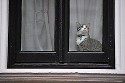"© Licensed to London News Pictures. 14/11/2016. London, UK. A cat belonging to Julian Assange, wearing a label with ""james"" written on it, sits in the window of the embassy after Swedish officials arrive at the Ecuadorian Embassy in London where they are expected to interview WikiLeaks editor-in-chief, Julian Assange. Assange, who has been living at the embassy for over four years, is wanted for questioning over accusations of rape in Stockholm in 2010.  Photo credit: Ben Cawthra/LNP"