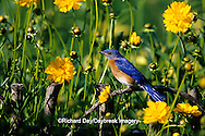 01377-15405 Eastern Bluebird (Sialia sialis) male in flower garden near Lance-leaved Coreopsis (Coreopsis lanceolata) Marion Co. IL