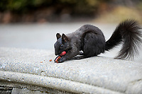 Eastern gray squirrel or grey squirrel (Sciurus carolinensis) - melanistic subgroup