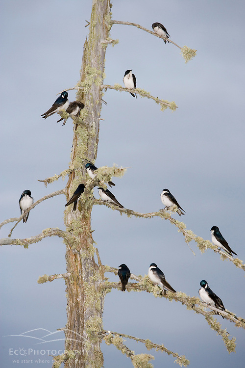 Tree swallows, Tachycineta bicolor, on a standing dead tree in East Inlet, Pittsburg, New Hampshire.  Connecticut River Headwaters region.