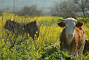 Israel Galilee, Cows grazing in a field