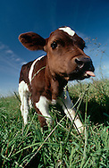 DEU, Deutschland: Hausrind (Bos taurus), Kalb auf der Weide, streckt seine Zunge heraus, Rasse: Schwarzbunte, Norddeutschland | DEU, Germany: Domestic cattle (Bos taurus), calf on feedlot, sticking out its tongue, race: Holstein, Northern Germany | ..