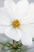 Cosmos bipinnatus 'Sonata White' - garden cosmos