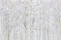Aspen Trees in Snowstorm near Maroon Bells, White River National Forest, Colorado<br /> <br /> Backstory:<br /> I was in the middle of two-week road trip across the country when I stopped in Aspen for a few days. The fall crowds had just cleared out and the first snowfall of the season had just begun. I was on my way to the Maroon Bells at dawn when I was forced to stop due to near white-out conditions. Fortunately I was afforded the opportunity to photograph this beautiful grove of aspen as a result.<br /> <br /> Year Photographed: 2006