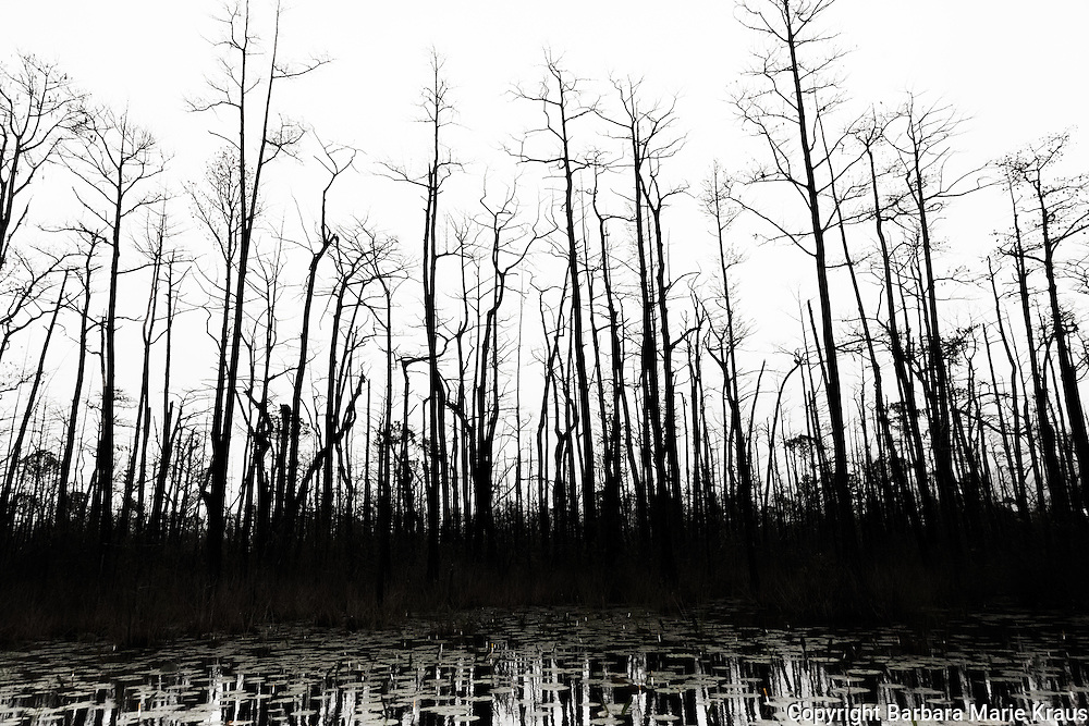dead burnt trees stand  sihouetted against a white sky. A lily pad covered pond is in the foreground