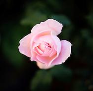 A pink rose in the garden of Suzinn Weiss in Portland, OR