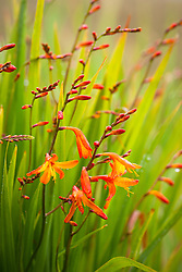 Crocosmia, Monbretia growing wild on a roadside verge. Crocosmia × crocosmiiflora