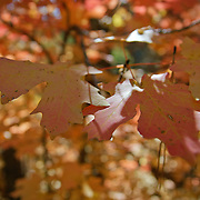 Fall Leaves Along the West Fork Trail - Oak Creek Canyon, AZ