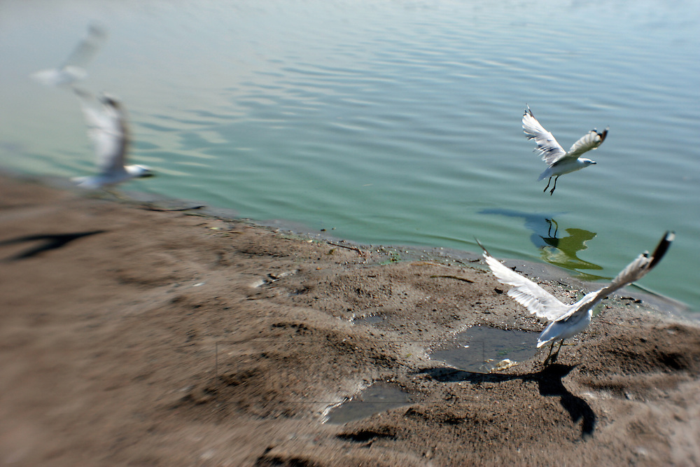 A group of Gulls takes off from the main sand beach on Lake Nokomis