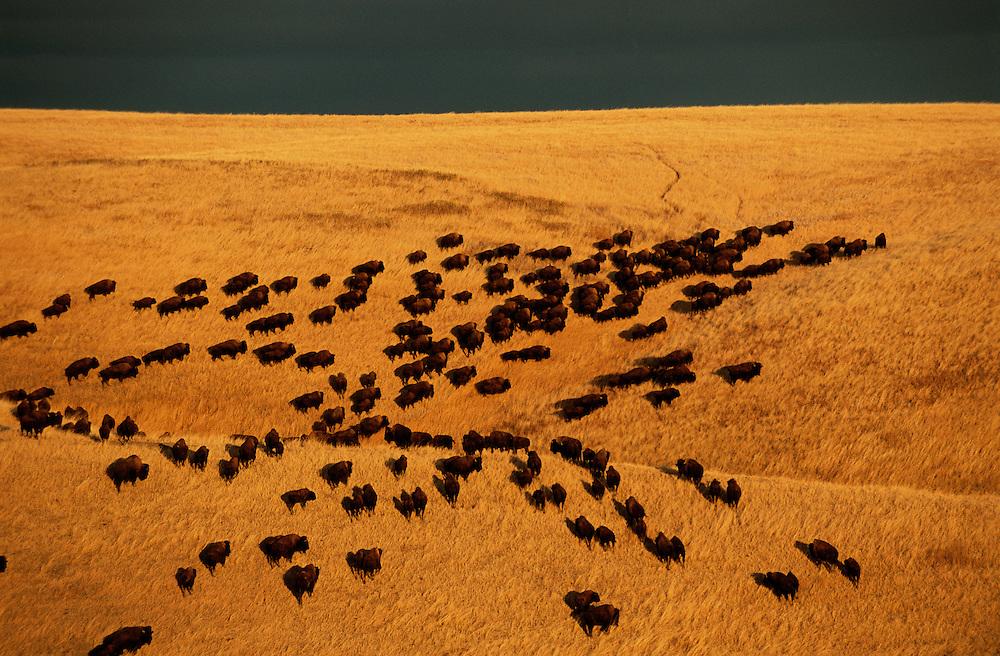 Bison roaming at sunset, South Dakota.