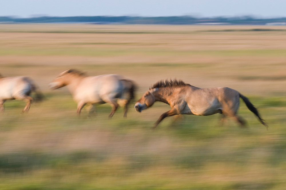 Przewalsky horses (Equus ferus przewalskii) running on the neverending grassland of Hortobagy National Park, Hungary
