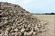 Nederland, Ubbergen, 2-10-2010Een grote berg suikerbieten ligt langs de weg om naar de fabriek vervoerd te worden.Foto: Flip Franssen/Hollandse Hoogte