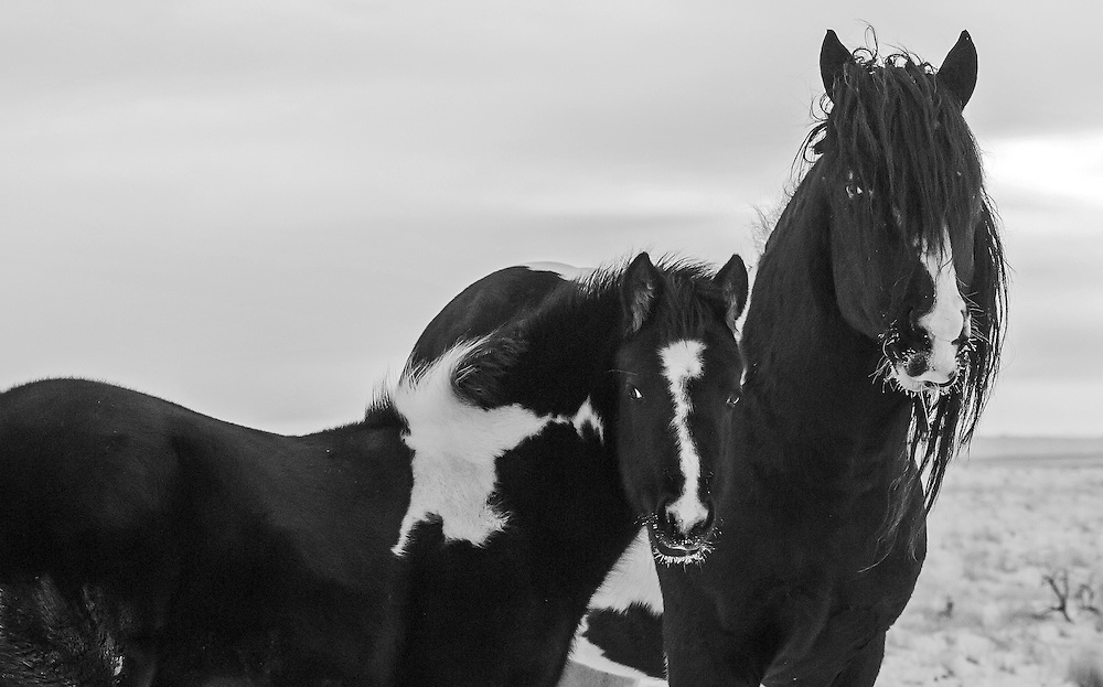 Herd stallion, Washakie, and his look-alike colt face the cold on a December morning at the McCullough Peaks Herd Management Area outside Cody, Wyoming.