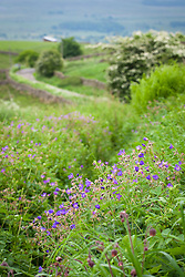 Meadow Cranesbill growing wild by a lane in Yorkshire. Geranium pratense