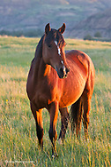 Wild horse in Thedore Roosevelt National Park, North Dakota, USA
