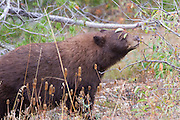 A cinnamon black bear looking for some berries to eat in Grand Teton National Park